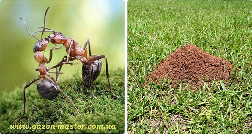 муравьи на газоне