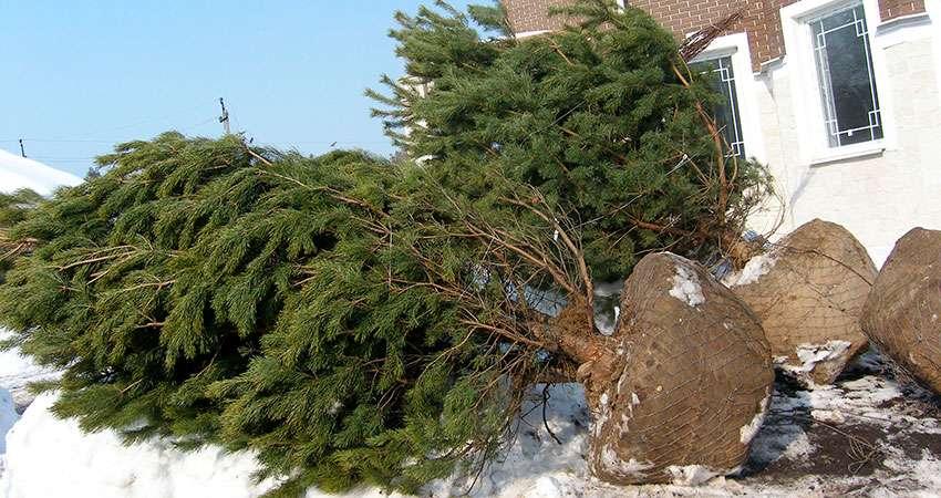 Крупномерные деревья с большим комом