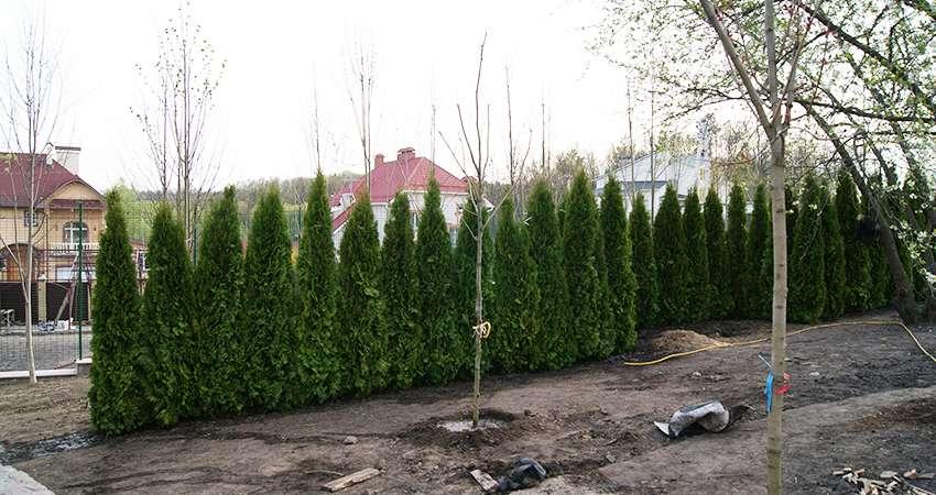 Посадка деревьев живая изгородь туи
