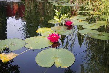 цветущий лотос в декоративном водоеме