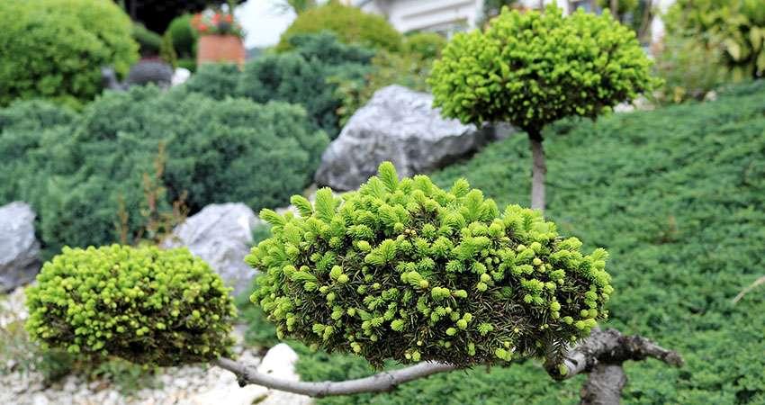 Ель канадская - Picea glauca Conica