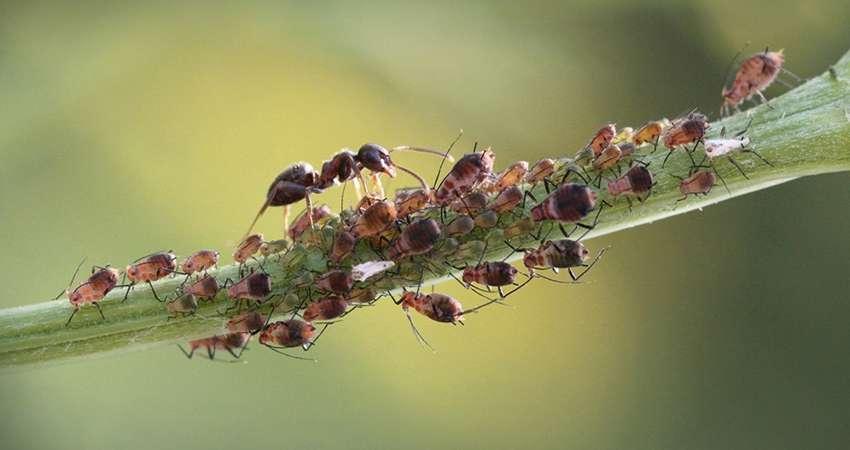 Муравьи разносят тлю по растению
